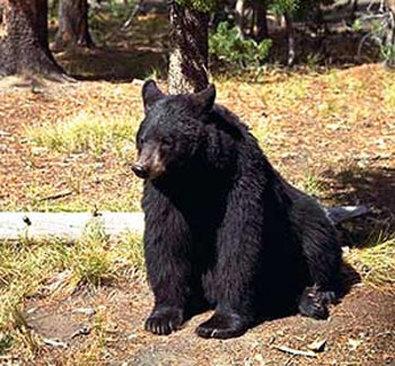 Best Western Desert Inn-North American Black Bear<br/>Image from Leonardo