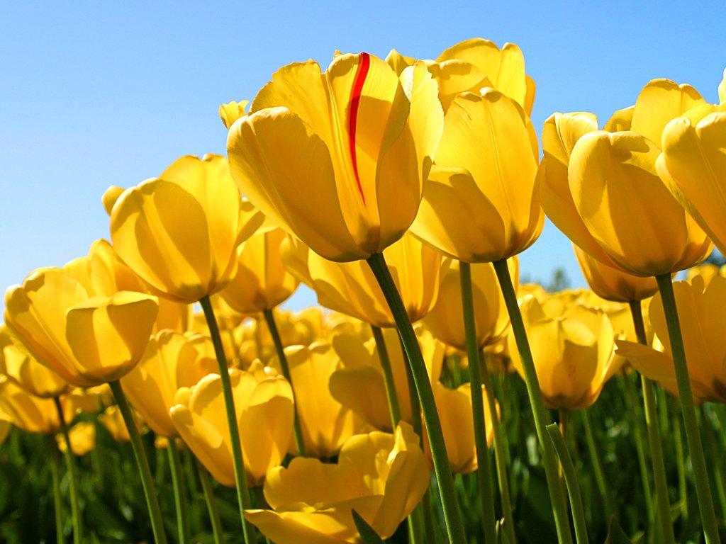 Santa Barbara Beach & Golf Rst - Tulips <br/>Image from Leonardo