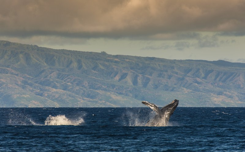 Hyatt Regency Maui Resort - Whales <br/>Image from Leonardo