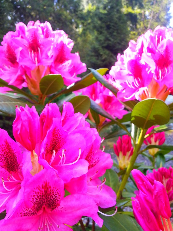 Holiday Inn Express & Suites Surrey-Beautiful rhododendrons viewed from our Breakfast Bar patio<br/>Image from Leonardo