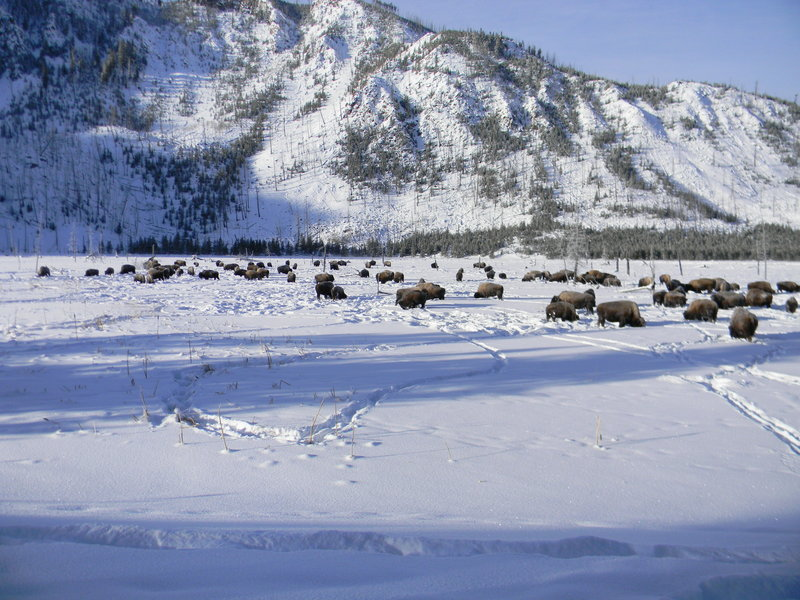 Holiday Inn West Yellowstone-Wild Buffalo grazing in Yellowstone<br/>Image from Leonardo