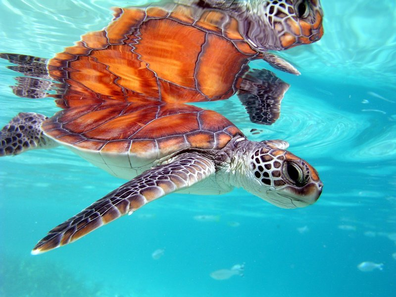Intercontinental Moorea Resort-Sea Turtle Clinic<br/>Image from Leonardo